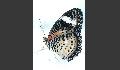 Leoparden-Netzflügler - Cethosia cyane