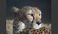 Gepard im letzten Sonnenlicht