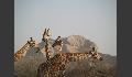 Giraffen beim Abendessen